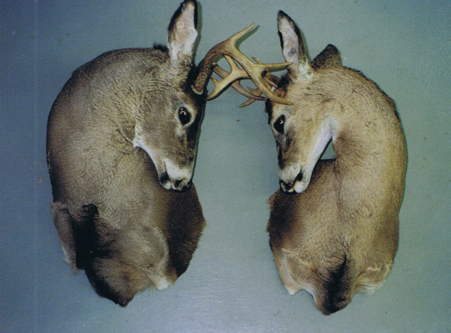 Two whitetail deer sparing