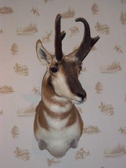 Pronghorn Antilope