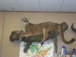 Mountian lion wall mount