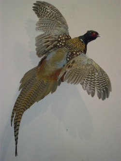 ringneck pheasant flying