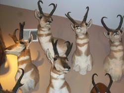 Western antelope