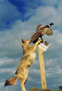 Coyote jumping up at flying pheasant