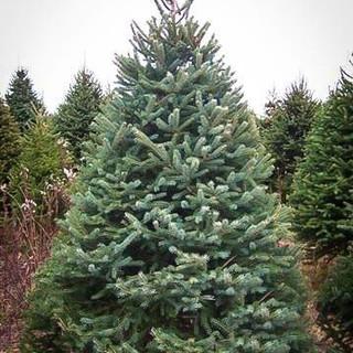 white-spruce-2.jpg