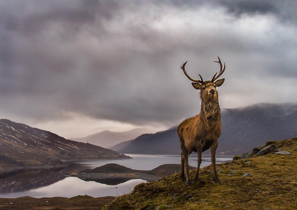Amazing photo of majestic Highland Monarch deer