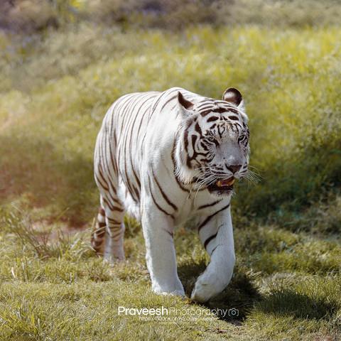 tiger, wild, animal, wildlife, mammal, carnivore, danger, feline, cat, predator, nature, head, striped, aggressive, background, face, jungle, hunter, white, fur, beautiful, beauty, angry, portrait, wildcat, big, safari, bengal, aggression, siberian, isolated, eyes, anger, expression, illustration, stripes, closeup, tigress, art, tigris, design, black, zoo, orange, beast, asia, vector, color, front, close