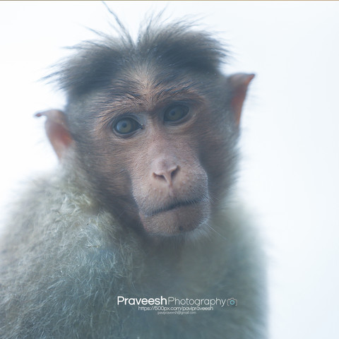 monkey, animal, illustration, vector, cute, wild, wildlife, ape, character, funny, happy, nature, design, primate, cartoon, isolated, jungle, face, fun, drawing, chimpanzee, set, art, mammal, graphic, zoo, icon, symbol, logo, sign, forest, year, tropical, zodiac, baby, background, collection, tree, adorable, hanging, cheerful, banana, new, element, head, macaque, gorilla, tail, monkey isolated, chimp
