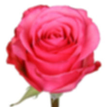 rose_sherry_o.jpg