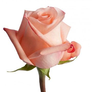 Роза-Ангажемент-Engagement.jpg