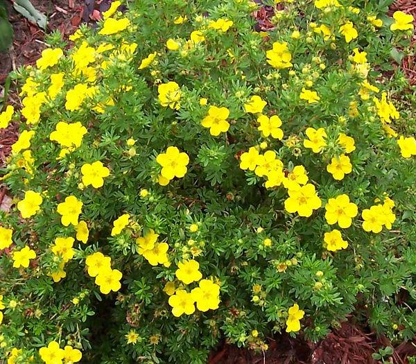 lapchatka_yellow.jpg