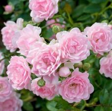 Розовая с белым
