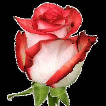 roza_blash__blush_.png