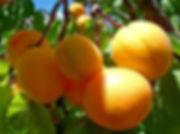 sort-abrikosa-medovyy.jpg