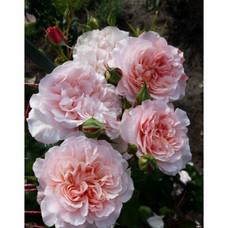 Роз де Толбиак