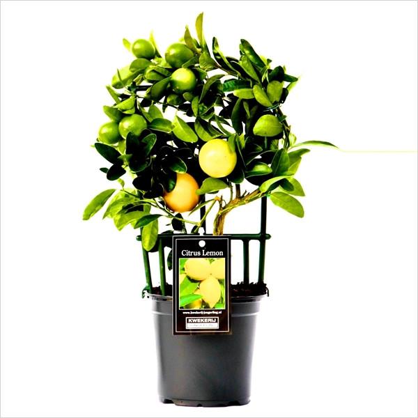 Цитрус Limequat