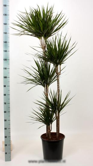 Драцена маргината карусель