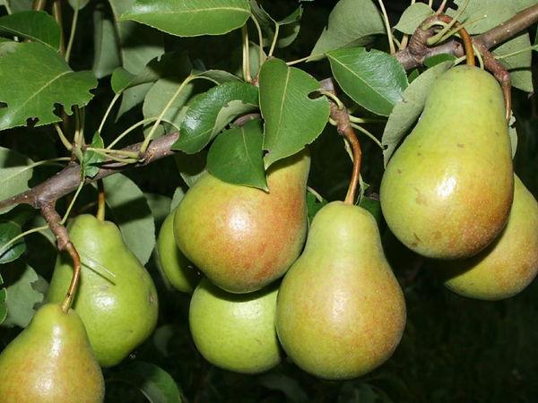Вкусная-груша-чижовская-1024x768.jpg