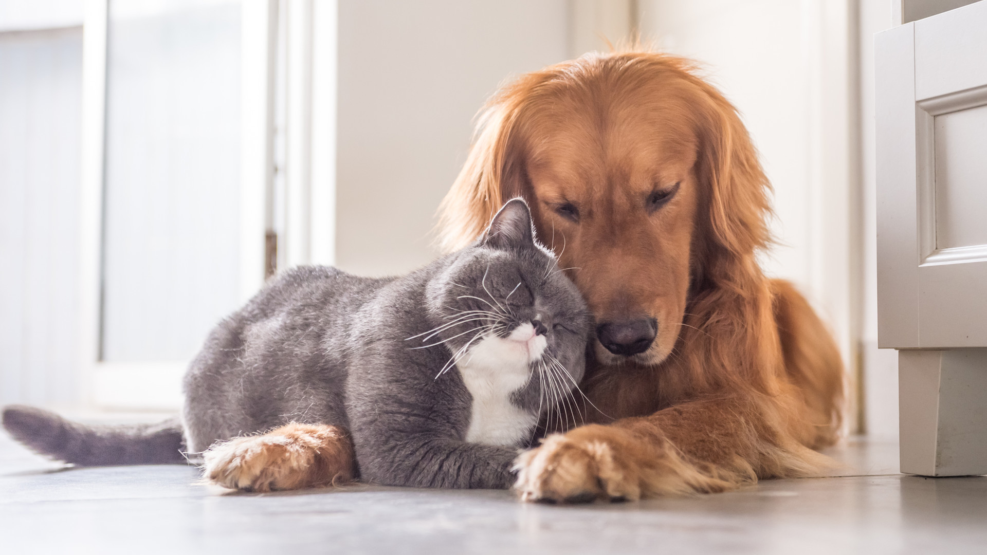 British cat and Golden Retriever.jpg