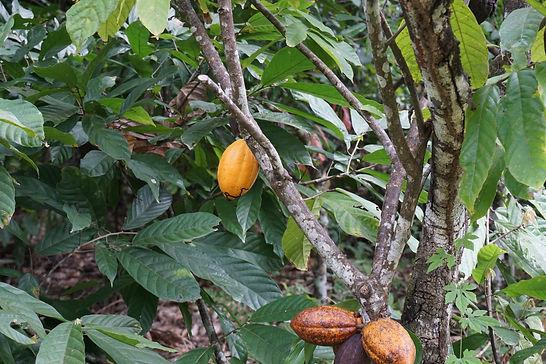 coca plantation.JPG