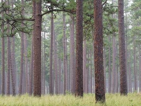 New Bern and the Longleaf Pine