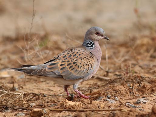 Quail hunting - a smokescreen for wildlife crime?