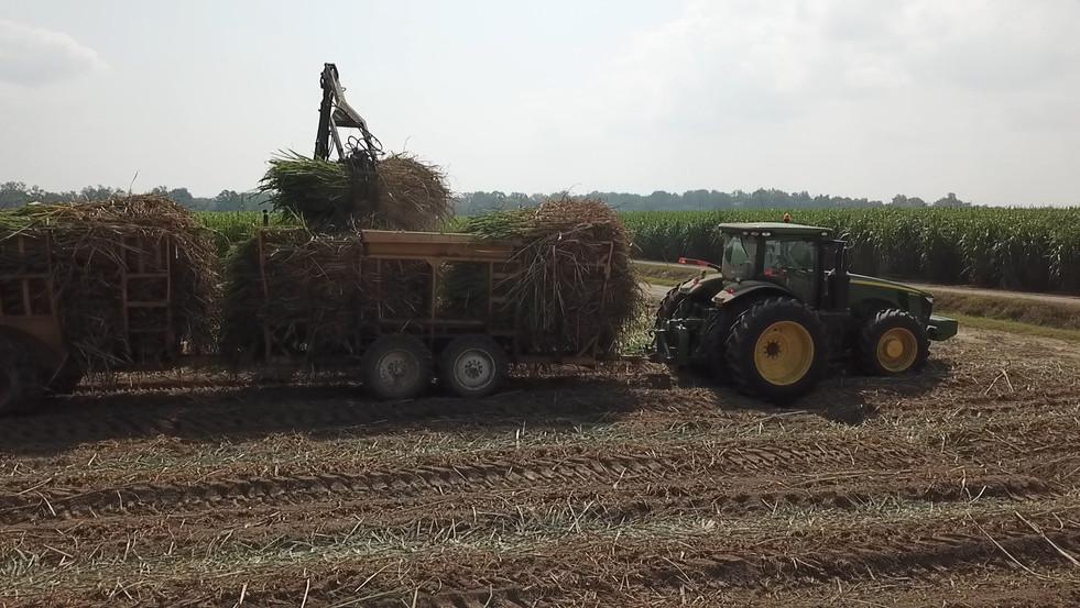 Sugarcane Harvest Time