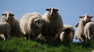 meadow-animals-sheep-wool-medium