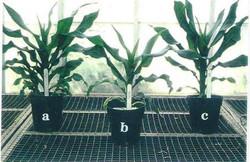 Maize (Dwarf Corn) Comparison