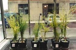 Asparagus Comparison at 2-Months