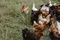 Freilandhühner