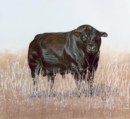 American Angus Bull