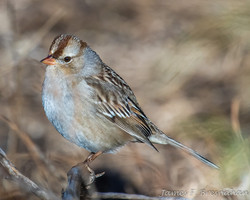 White-crowned Sparrow - First Winter