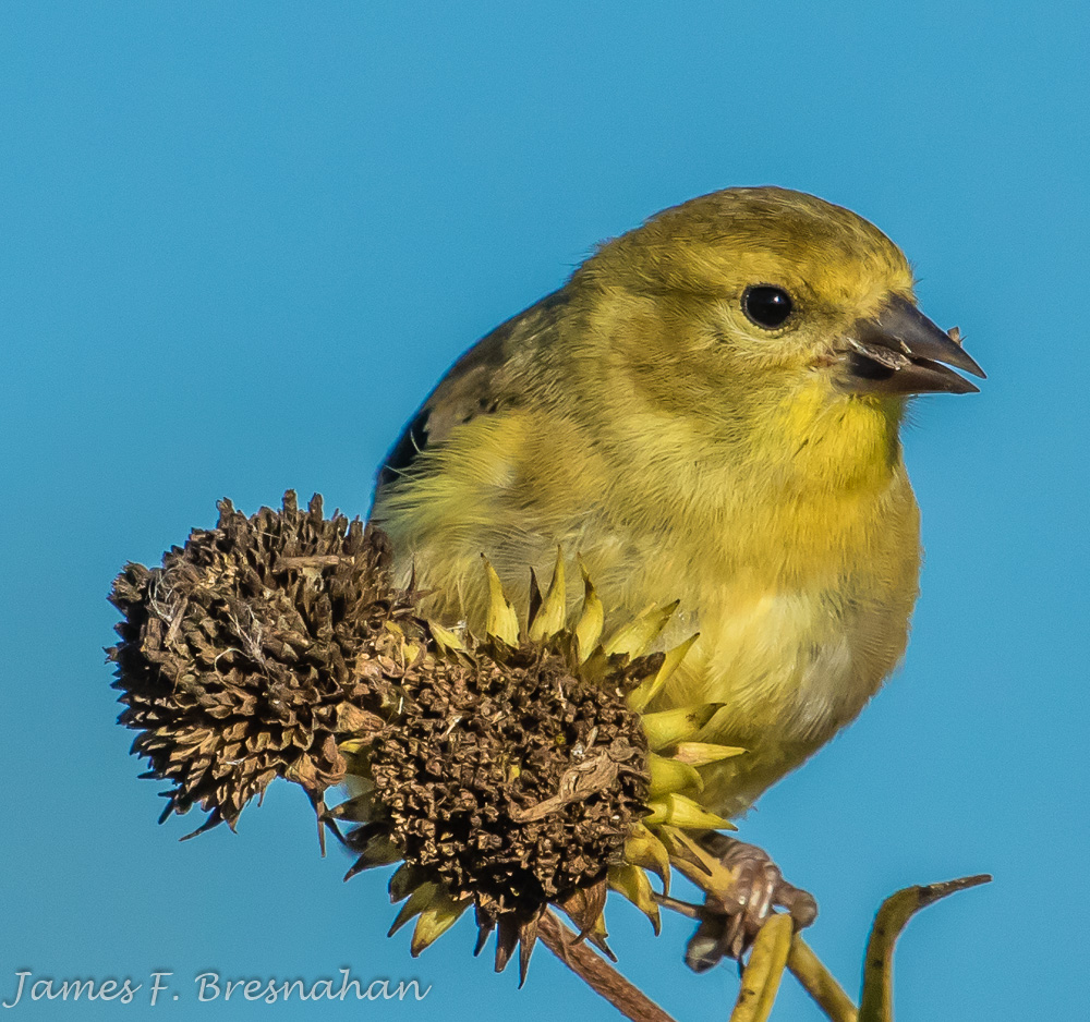 American Goldfinch - Male Non-Breeding Plumage