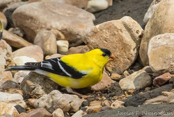 Goldfinch - Male Breeding Plumage