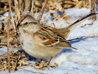 Identifying those darn sparrows