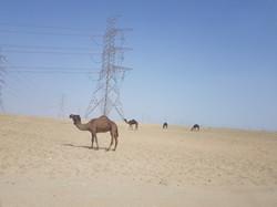 Local wildlife in Saudi Arabia