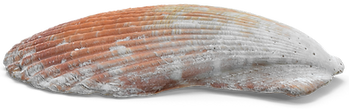 Scallop-Shell.png