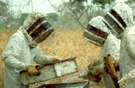 Weather whiplash /Honeybees May Be Dying in Larger Numbers Due to Climate Change Bloomberg