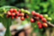 Caffeine high? / Climate-hit Ethiopia shifts coffee uphill  Thomson Reuters Foundation