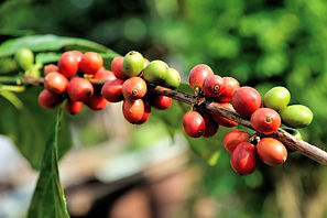 Caffeine high?/Climate-hit Ethiopia shifts coffee uphill  Thomson Reuters Foundation