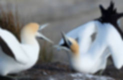 Threat to sea life / New gannet study reveals warm water lowers nutritional value of fish and squid   Stuff