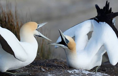 Threat to sea life /New gannet study reveals warm water lowers nutritional value of fish and squid Stuff