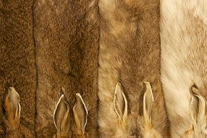 DNA contamination /How the snowshoe hare is losing its white winter coat  Science