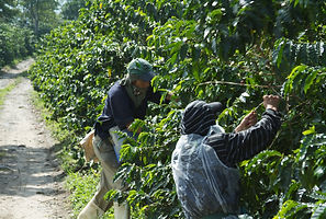 Coffee will be roasted /  Climate Change Threat Sends Coffee Roaster on Bean Hunt  Bloomberg