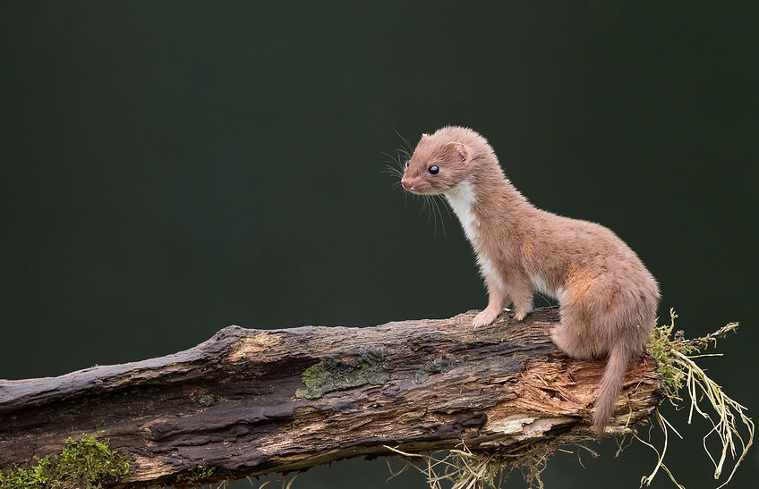 Snow cover /Climate change is affecting mortality of weasels due to camouflage mismatch Nature