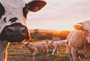 Hot milk /Cheese lovers, beware: As temperatures rise, cows produce less milk  Yale