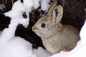 Nowhere to hide/Tiny rabbit has a big climate problem  Yale Climate Connections