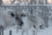 Industrialisation feedback / As Arctic warms, reindeer herders tangle with new industries  Reuters