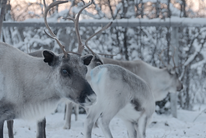 Industrialisation feedback/As Arctic warms, reindeer herders tangle with new industries  Reuters