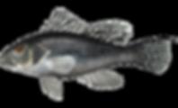 Range shift /Front line of climate change: Black sea bass surge off [Rhode Island, USA] Providence Journal