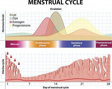 menstrual cycle phases.jpg